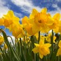 It's peak daffodil season at Blithewold, and there's a special spring walk for families this weekend.