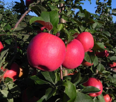 Golocalprov 20 great places to go apple picking in new for Where can i go apple picking near me