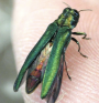 Emerald Ash Borer PHOTO: Newport Tree Conservancy