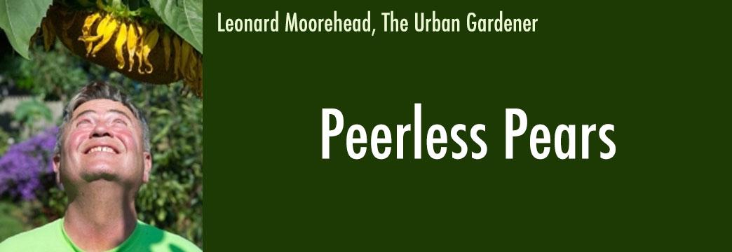 Urban Gardener: Peerless Pears